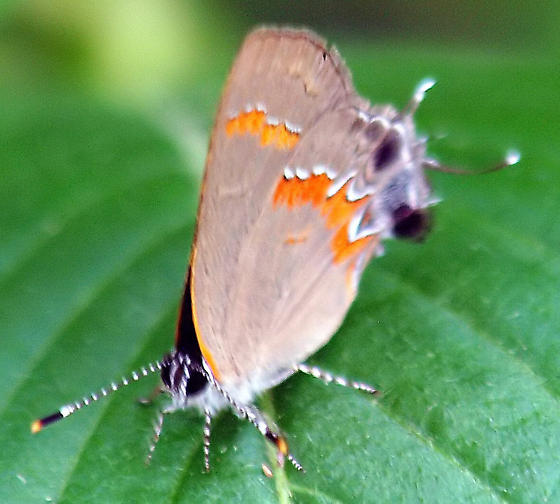 Is this a red-banded hairstreak? view 2 - Calycopis cecrops