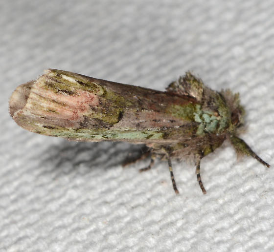 Schizura unicornis - Unicorn Caterpillar Moth - Schizura unicornis