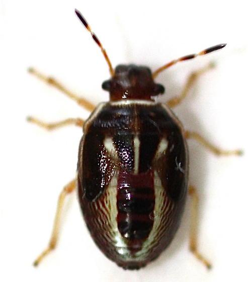 Mormidea lugens 5th instar - Mormidea lugens