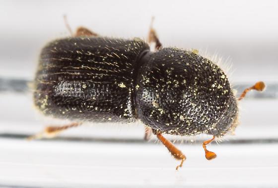 Scolytini - Ambrosiophilus atratus