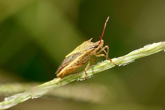 Rice Stink bug? - Oebalus pugnax