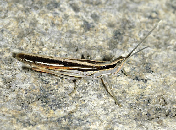 Colorful grasshopper - Mermiria texana - male