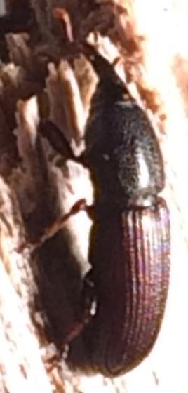 Mesites - Mesites subcylindricus