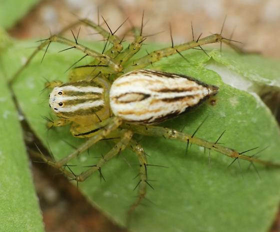 Striped Lynx? - Oxyopes salticus