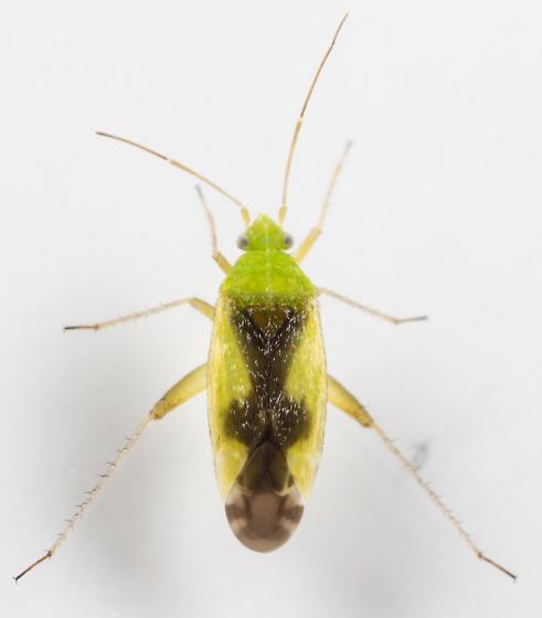 Plant Bug - Reuteroscopus ornatus