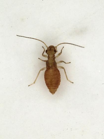 Valenzuela manteri micropterous - Valenzuela manteri - female
