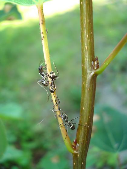 Aphid Herding - Formica subsericea