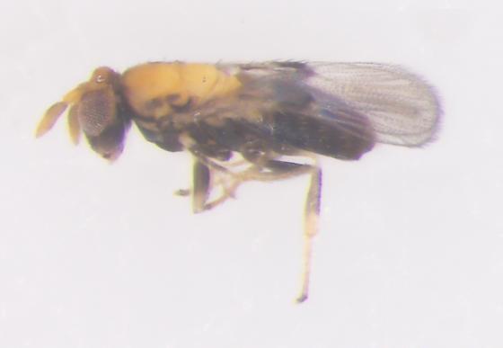 Trichogrammatidae, lateral - female