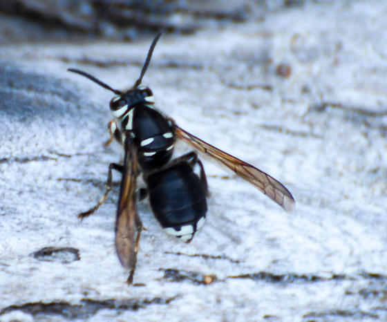 Dolichovespula maculata - Bald-faced Hornet - Dolichovespula maculata