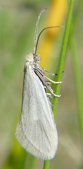 Greya subalba - male