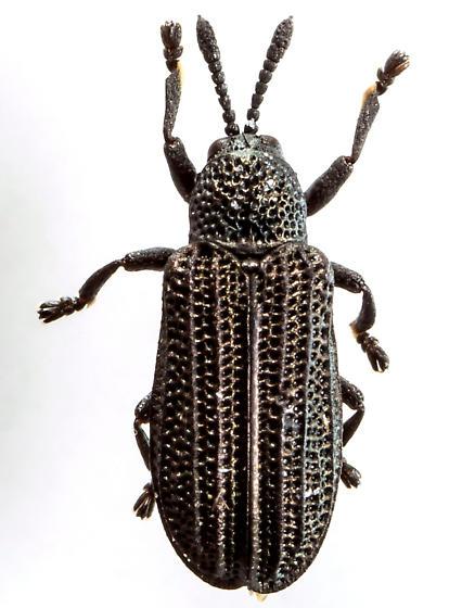 Beetle - Glyphuroplata pluto