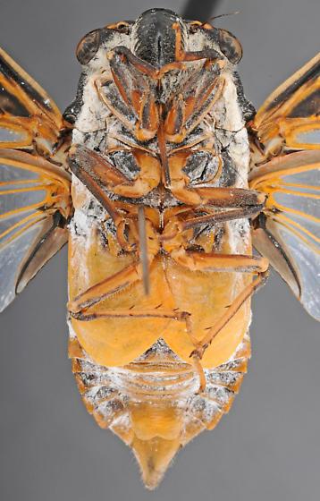 Cicada, male ventral - Hadoa townsendii - male