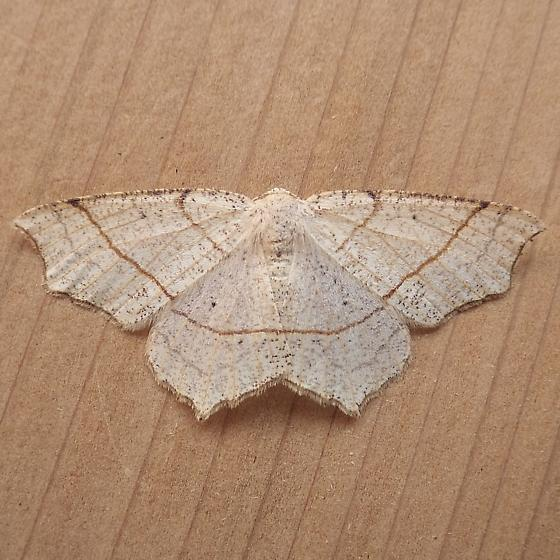 Geometridae: Besma quercivoraria - Besma quercivoraria - female