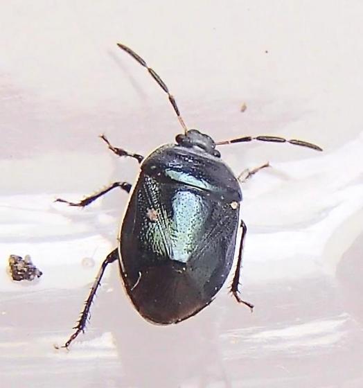 Stink Bug? - Sehirus cinctus