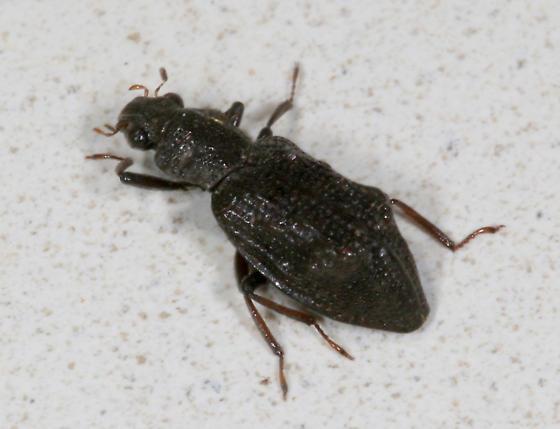 Coleoptera: Hydrophilidae: Hydrochus scabratus - Hydrochus scabratus