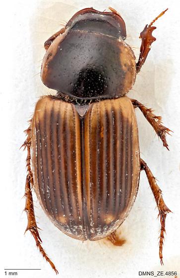 Aphodius walshii dorsal - Aphodius walshii - male