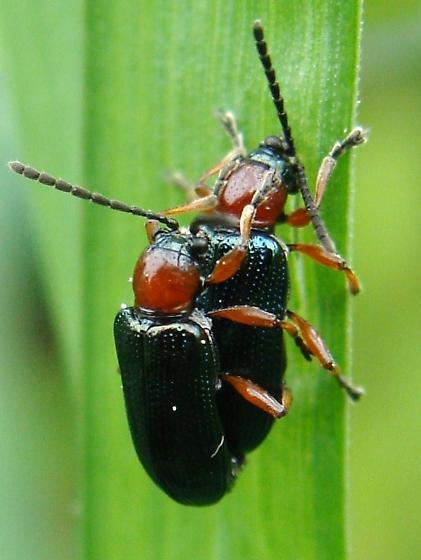 Mating Cereal Leaf Beetles - Oulema melanopus - male - female