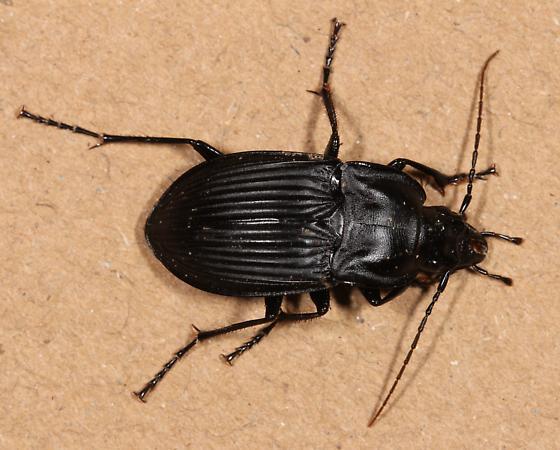 black beetle  - Dicaelus dilatatus