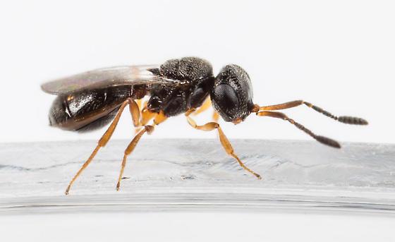 Small Wasp - Trimorus