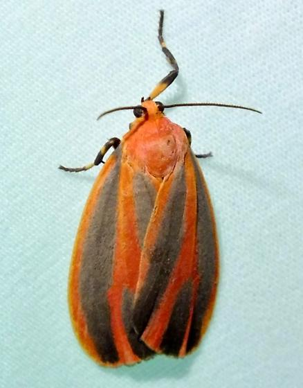 Scarlet-winged Lichen Moth - Hypoprepia miniata