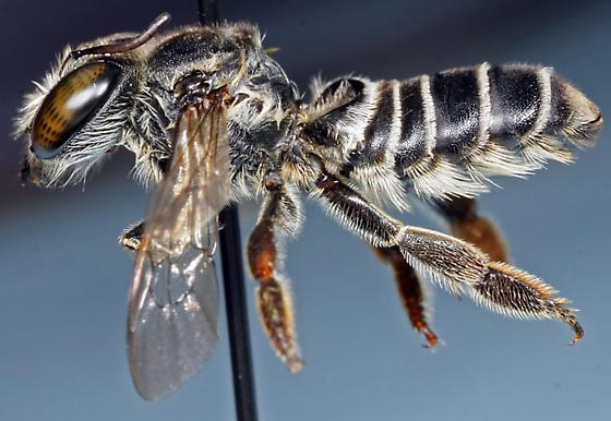 megachilid bee - Megachile