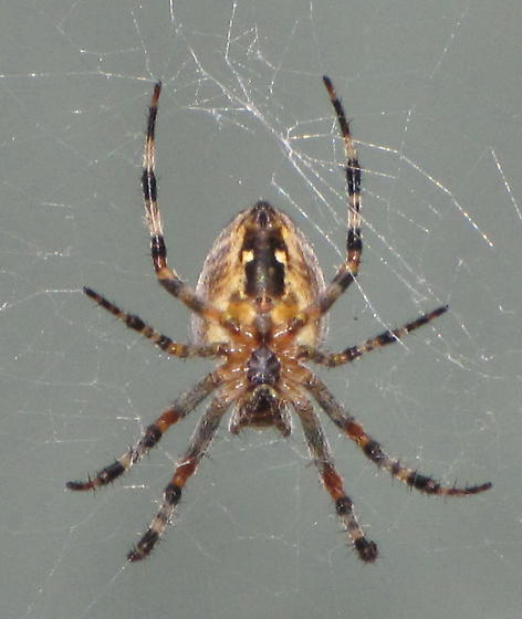 Spider with striped legs pennsylvania