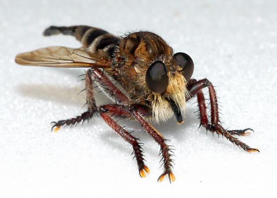 Unknown Robber Fly - P. bastardii? - Promachus bastardii - female