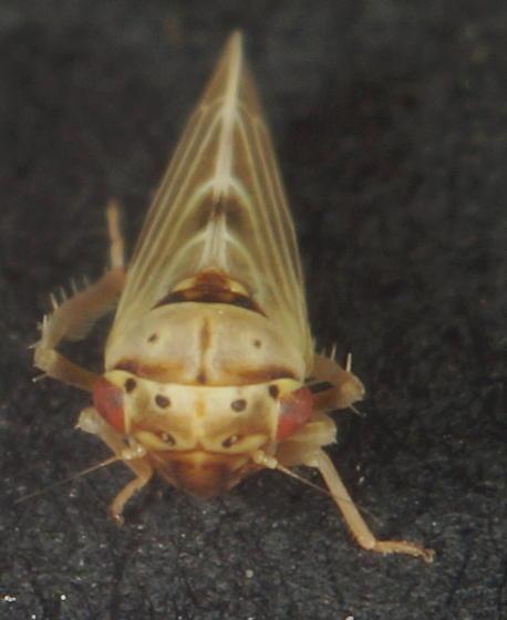 Agalliopsis novella