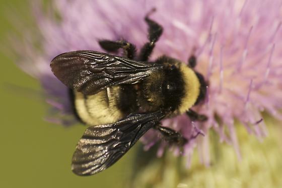 B. auricomus or pensylvanicus? - Bombus pensylvanicus - female