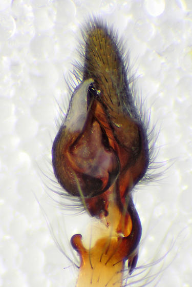 Pedipalp, ventral view (slightly off-axis) - Cheiracanthium inclusum - male
