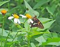 Moth - Epargyreus clarus
