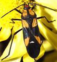 Oncopeltus sexmaculatus