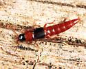rove beetle - Olisthaerus substriatus