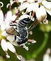Megachilid Bee - Megachile pseudobrevis - female