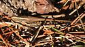 American Birdwing Grasshopper - Schistocerca americana - male
