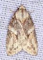 Moth - Garella nilotica