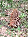 Owl Moth - Thysania zenobia