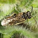 Filacus pluricinctellus - female