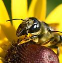 Megachile with big jaws on Black-eyed susan - Megachile pugnata - female