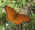 Speyeria aphrodite - male