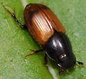 Little brown scarab - Aphodius rubripennis