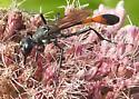 Enlogated Wasp - Ammophila procera