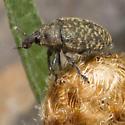 Rhinocyllus conicus? - Larinus