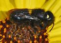 Small, fuzzy black bee on encilia - Osmia montana