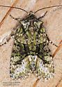 Noctuidae - Lacinipolia olivacea