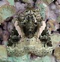 Noctuidae: Pseudeustrotia carneola? - Pseudeustrotia carneola