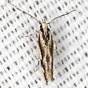 Cosmet Moth -Hodges #1503 - Melanocinclis lineigera