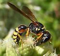 unknown wasp - Ectemnius sonorensis