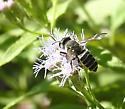 bee on Ageratina havanensis - Megachile