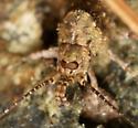 jumping bristletail - Trigoniophthalmus alternatus - female